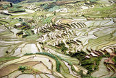 Rice fields.jpg — Stock Photo