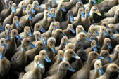 Young Ducks — Stock Photo