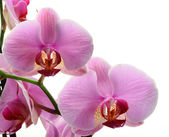 Orchis, Orchidea Phalaenopsis — Stock Photo
