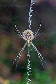 Argiope lobata — Stock Photo