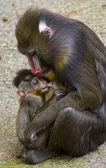 Mandrill female with her ??tiny newborn — Stock Photo