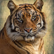 Royalty-Free Stock Photo: Tiger bengal