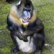 Mandrill — Stock Photo