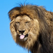Stock Photo: Lion, sticking out his tongue, teasing.