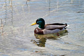 Swimming duck — Stock Photo