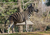 Plains zebra, the plains, or just plain common — Stock Photo