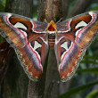 Постер, плакат: Attacus atlas
