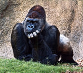 Silverback gorilla. — Stock Photo