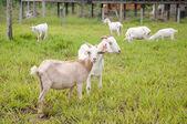 Goat farm — Foto de Stock