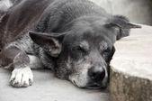 Sleeping black dog — Stock Photo