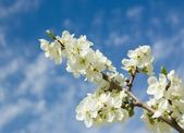 Cherry-plum Blossom and clear blue sky — Stock Photo