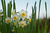 水仙の花 — ストック写真