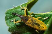 Snout beetle ( Lixus angustatus ) — Stock Photo