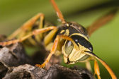 Wasp (Polistes bischoffi) — Стоковое фото