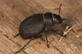 Beetle (Timarcha Tenebricosa) — Stock Photo