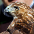 Eagle of red tail (Buteo jamaicensis) and falconer — Stock Photo