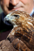 Eagle of red tail (Buteo jamaicensis) and falconer — Foto Stock
