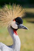 Common crane (Grus Grus) — Stock Photo