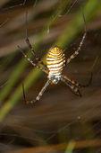 Spider (Argiope bruennichi) — Stock Photo