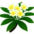 Plumeria flowers — Stock Vector