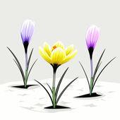 Spring crocuses — Stock Vector