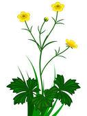 Buttercups florets — Stock Vector