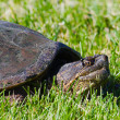Stock Photo: Common Snapping Turtles