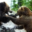 Grizzly (Brown) Bear Fight — 图库照片