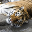 Bengal Tiger resting — Stock Photo