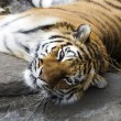 Stock Photo: Bengal Tiger resting