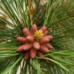 Birth on some pine cones — Stock Photo #5443012