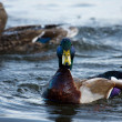 Mallards swimming — Foto Stock
