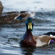 Mallards swimming — Stock fotografie