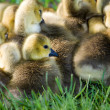 A group of canadian goslings - Stock Photo