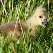 Royalty-Free Stock Photo: Portrait of a gosling eating a dandelion