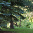 Pine tree in the forest — Stock Photo #5443259