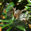 Garden Orb Spider. - Stock Photo