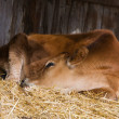 Stock Photo: Cow resting in manger.