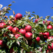 Branch with red apples against blue sky. — Stock Photo