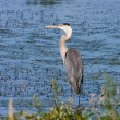 Great Blue Heron Fishing — Stock Photo #5443565