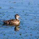 Wood Duck (Aix sponsa) duckling. — Stock Photo
