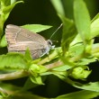 Gray Hairstreak Butterfly — Stock Photo