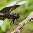 Widow Skimmer Dragonfly - Stock Photo