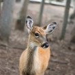 Little Deer — Stock Photo #5443609