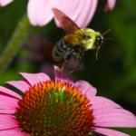 Golden Northern Bumblebee in Flight — Stock Photo