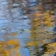 Autumn Leaves falling in the Water — Stock Photo