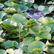 Stock Photo: Lilly pad leafs background