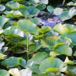 Lilly pad leafs background — Stock Photo