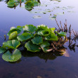 Lilly pad leafs background. — Stock Photo #5443876