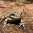 Stock Photo: Cope's Gray Tree frog